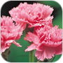 Carnation Flowers